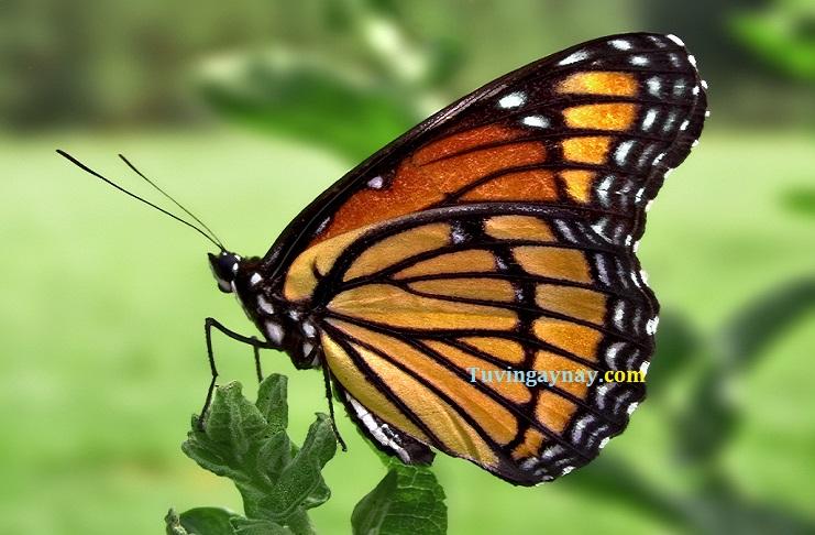 Bươm bướm bay vào nhà là điềm báo gì, điềm tốt hay xấu?