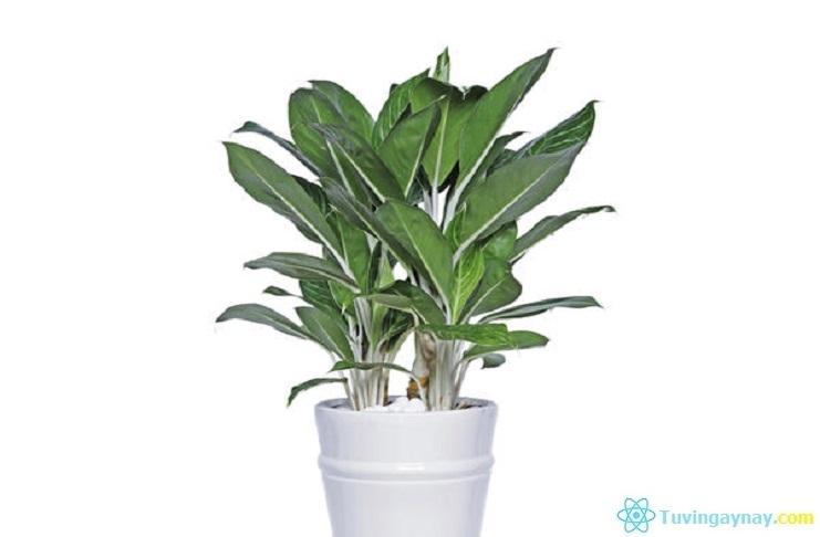 Tuổi Giáp Thìn hợp cây gì, trồng cây nào hợp mệnh theo phong thủy?
