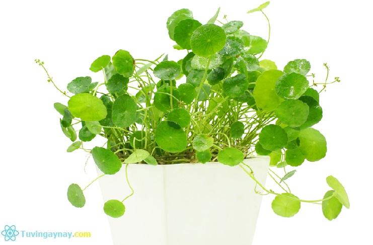 Tuổi Quý Sửu hợp cây gì, trồng cây nào hợp mệnh theo phong thủy?