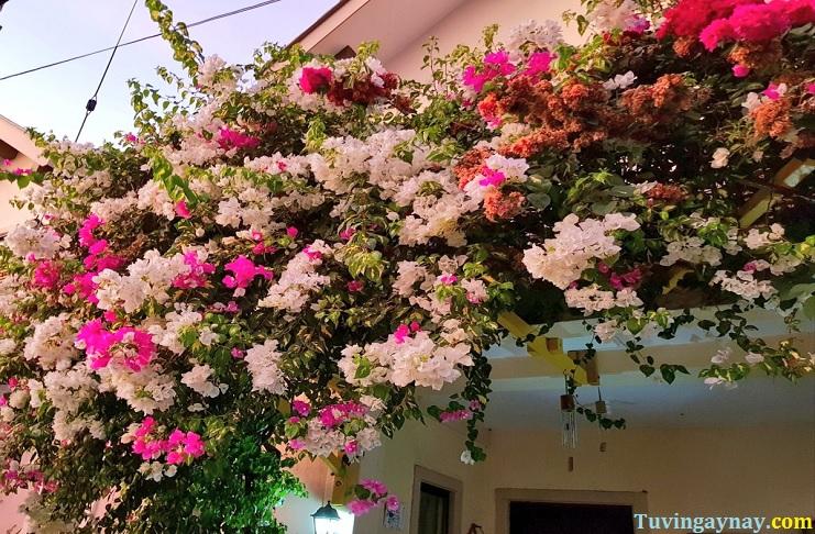 Cây hoa giấy trong phong thủy: Đuổi tà ma và giúp làm ăn phát tài