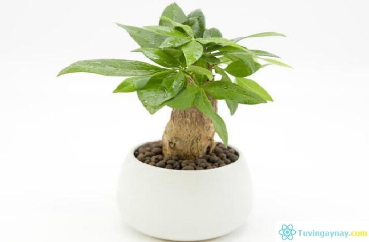Tuổi Nhâm Dần hợp cây gì, trồng cây nào hợp mệnh theo phong thủy?