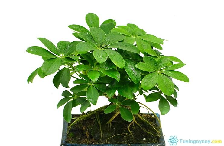 Tuổi Kỷ Sửu hợp cây gì, trồng cây nào hợp mệnh theo phong thủy?