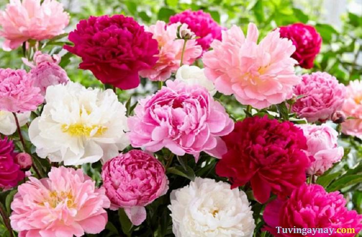 Hoa mẫu đơn phong thủy: Loài hoa của sự quyến rũ và hạnh phúc
